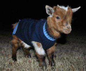 Goat in a sweater